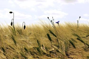 Fototapeta niebieski chaber w zbożu fp 540
