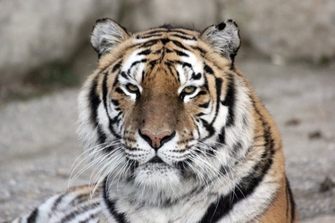 Fototapeta głowa tygrysa fp 2912