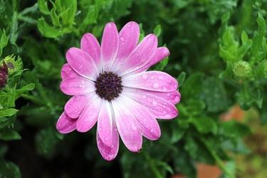 Fototapeta kropla wody na fioletowym kwiatku fp 544