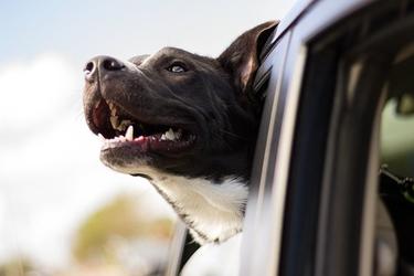 Fototapeta głowa psa wystająca z samochodu fp 2580