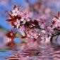 Obraz na płótnie canvas trzyczęściowy tryptyk dekoracyjne kwiaty wiśni nad wodą