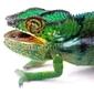 Naklejka samoprzylepna agresywny kameleon