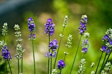 Fototapeta kwiaty lawendy FP 811