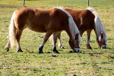 Fototapeta konie z białymi grzywami fp 2853