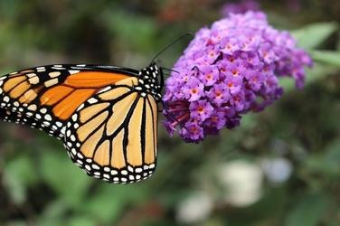 Fototapeta motyl siedzący na fioletowym kwiatku fp 2741