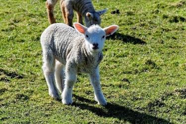 Fototapeta na ścianę mała spacerująca po łace owieczka fp 2667