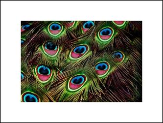 Pawie pióra - plakat wymiar do wyboru: 59,4x42 cm