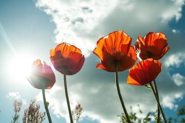 Fototapeta kwiat, maki 366