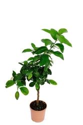Cytryna florentina drzewko