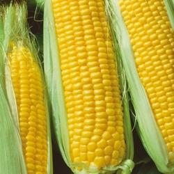Kukurydza cukrowa tatonka f1 – kiepenkerl