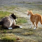 Fototapeta zabawa dwóch kotów fp 2743