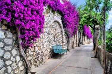 Fototapeta vibrant kwiat drapowana droga w capri, włochy