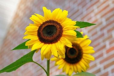 Fototapeta kwiat, słoneczniki 381