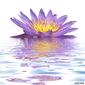Obraz na płótnie canvas dwuczęściowy dyptyk fioletowy kwiat lilii wodnej