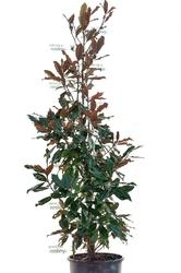 Magnolia odm. gallisoniensis ogromny krzew