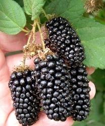 Jeżyna black butte mega owoc 5cm
