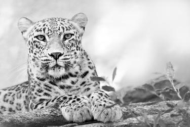 Fototapeta gepard w czarobiałej odsłonie fp 2630
