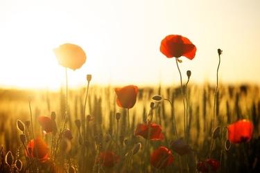 Fototapeta kwitnące maki przy zachodzie słońca fp 1511