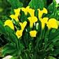 Zantedeschia kalla florex gold – 1 szt.