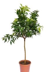 Klementynka drzewo