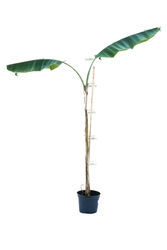 Bananowiec musa yunnanensis drzewo