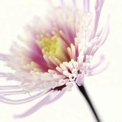 Różowy kwiatek - reprodukcja