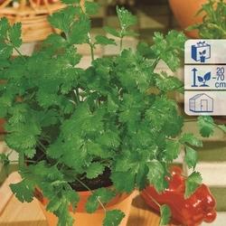 Kolendra caribe – aromatyczna – kiepenkerl