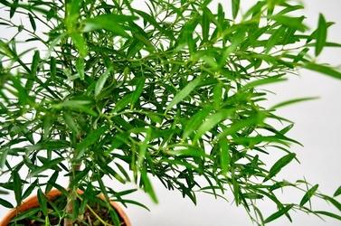 Microcitrus papuana drzewko