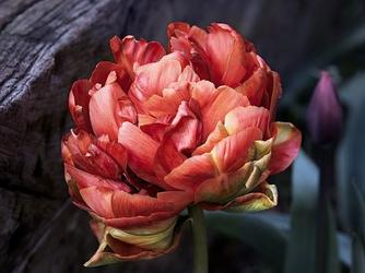 Fototapeta kwiat, róża 299