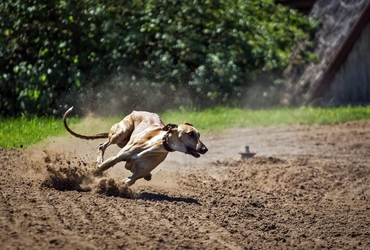 Fototapeta pies na wyścigach fp 2411