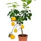 Cytryna meyeri drzewko