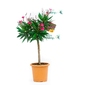 Oleander duże drzewko