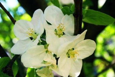 Fototapeta jabłoń kwitnąca fp 301