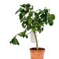 Limetta rangpur drzewko