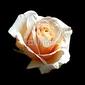 Plakat na papierze fotorealistycznym róża