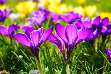 Fototapeta kwiat, krokusy 370