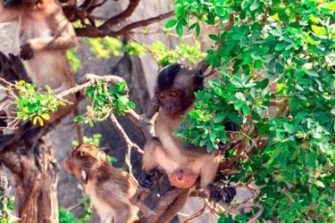 Fototapeta małpy na drzewie fp 2776