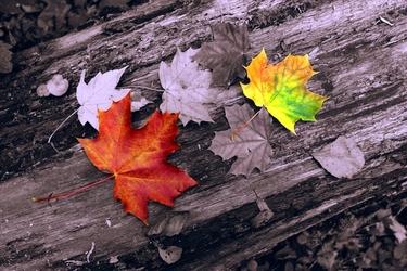 Fototapeta jesienne liście fp 330