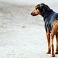 Fototapeta smutny stojący pies fp 2474