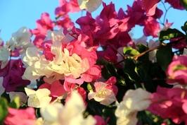 Fototapeta kwiat egiptu fp 399
