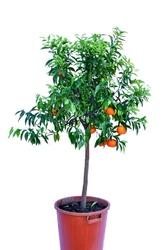 Mandarynka deliciosa duże drzewo