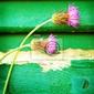 Obraz różowe chabry na tle drewniane