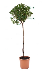 Drzewko truskawkowe duże drzewo