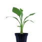 Bananowiec musella lasiocarpa drzewko