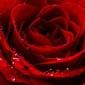 Czerwona róża - plakat wymiar do wyboru: 29,7x21 cm