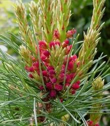 Sosna drobnokwiatowa szczepiona bonnie bergman