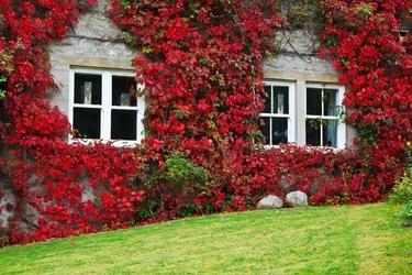 Fototapeta na ścianę dom porośnięty bluszczem fp 3251