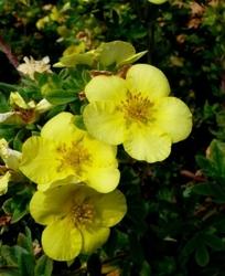 Pięciornik goldstar kwitnie obficie całe lato