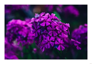 Fioletowe kwiaty - plakat wymiar do wyboru: 42x29,7 cm
