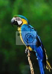 Fototapeta piękny niebieski i żółty ara ara ararauna